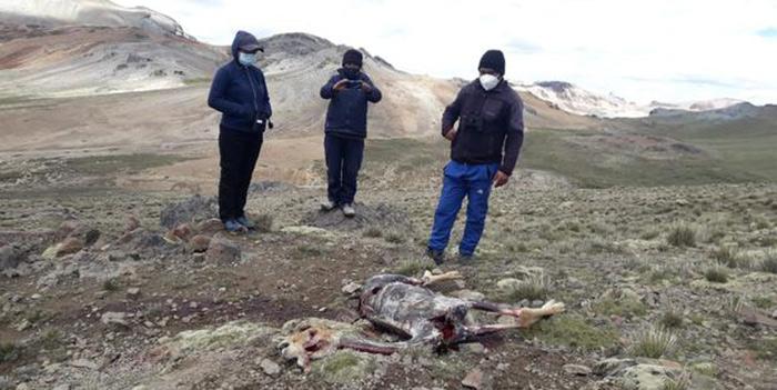 Arequipa: cazadores furtivos eliminan 50 vicuñas