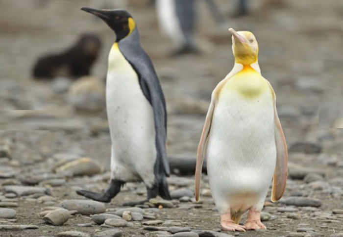Un fotógrafo logró capturar por primera vez a un pingüino amarillo