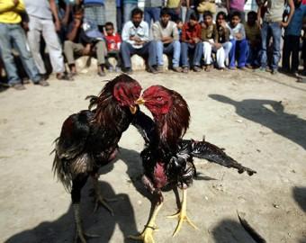 En la India un gallo mata a su dueño con una cuchilla durante una pelea ilegal
